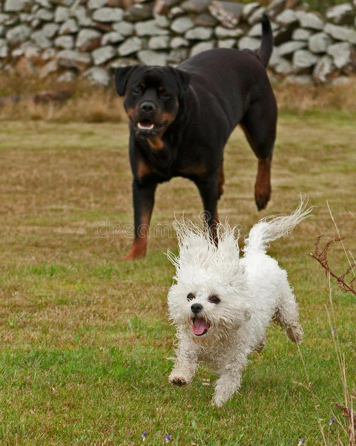 Twee honden, rottweiler en een kleine Bichon frisé stock afbeeldingen