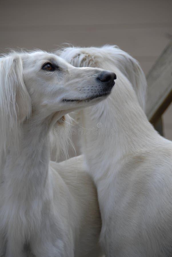 Twee honden Saluki. stock fotografie