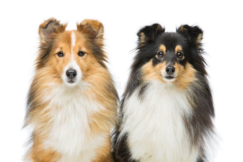 Twee honden Sheltie stock afbeeldingen