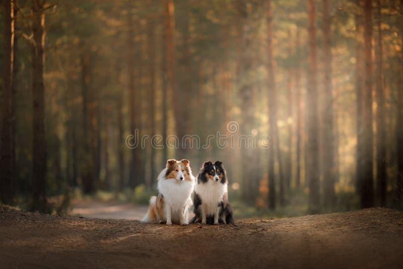 Twee honden sheltie in het hout op de weg stock foto