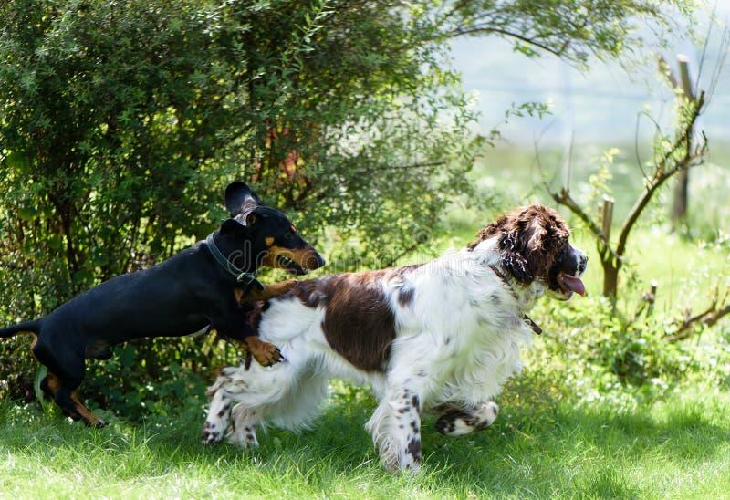 Twee honden spelen ruw in gras royalty-vrije stock fotografie