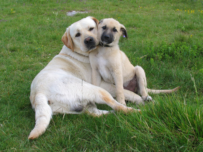Twee honden stellen stock afbeeldingen
