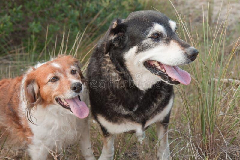 Twee honden van landbouwbedrijfschapen op een grasrijk zandduin stock fotografie