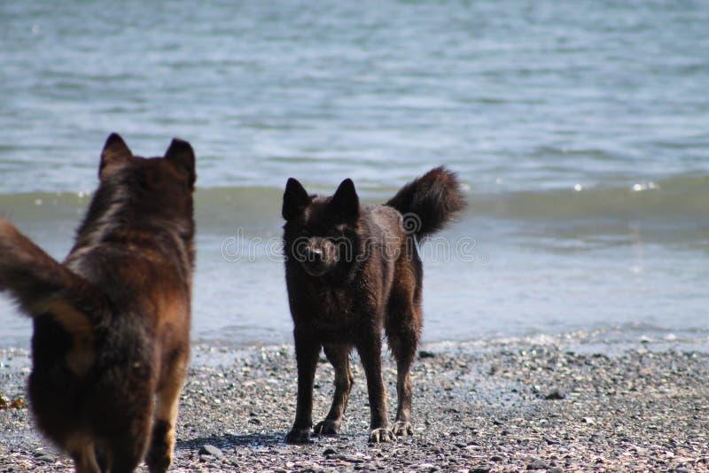Twee hondentribune - weg op het strand stock foto's
