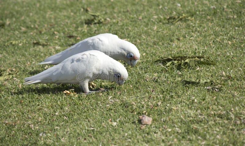 Twee hongerige witte Corellas op een groen grasrijk gebied stock afbeeldingen