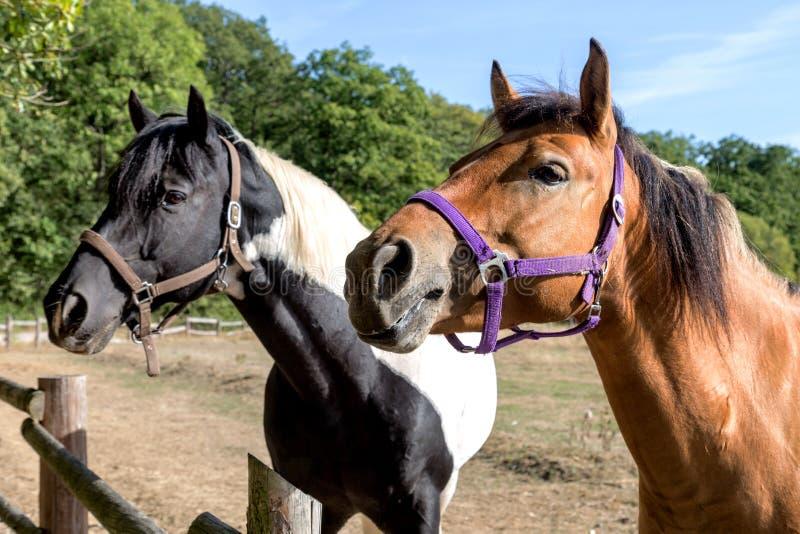 Twee hoofden van paarden royalty-vrije stock foto