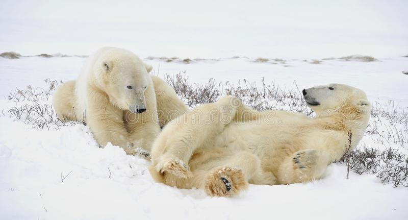 Twee ijsberen hebben een rust. stock foto's