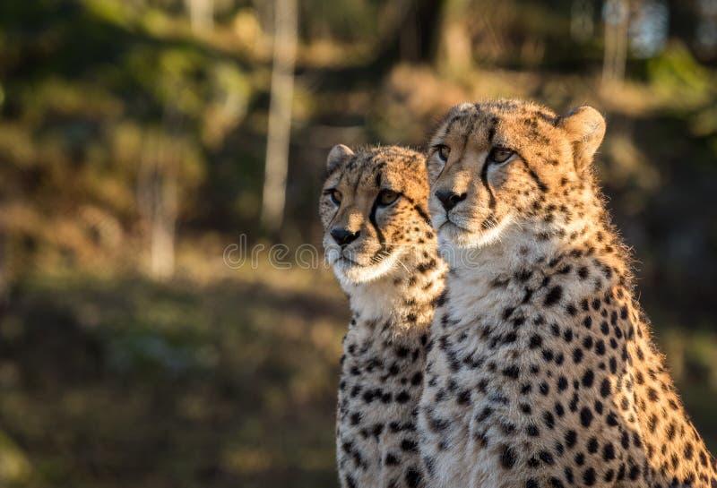 Twee jachtluipaarden, Acinonyx-jubatus, die aan de linkerzijde kijken royalty-vrije stock fotografie