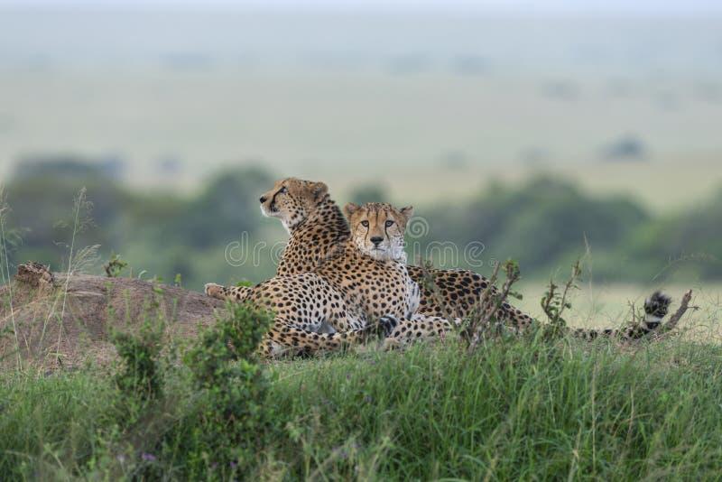 Twee Jachtluipaarden die na een lange gang in Masai Mara Game Reserve, Kenia ontspannen royalty-vrije stock fotografie