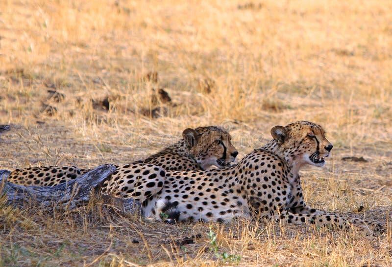 Twee Jachtluipaarden die op de Afrikaanse vlaktes rusten stock afbeeldingen