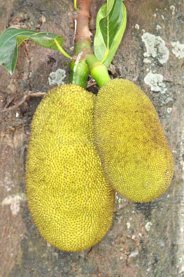 Twee jackfruits stock foto's
