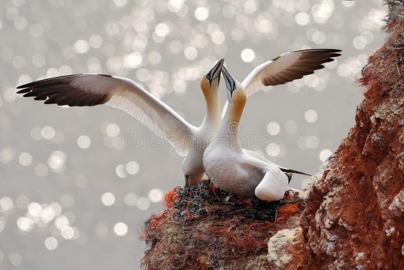 Twee jan-van-gent Vogel landind aan het nest met vrouwelijke zitting op egs Het wildscène van aard Zeevogel op de rotsklip Coas royalty-vrije stock foto's