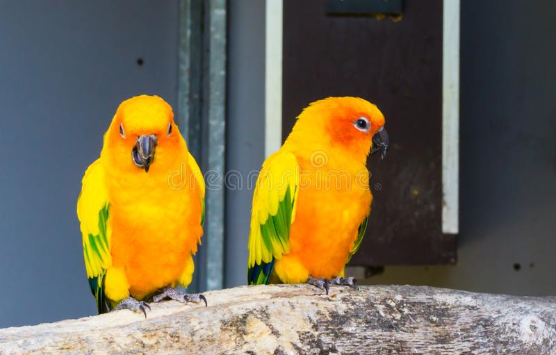 Twee jandayaparkieten die op een tak samen één zitten die in de camera en de kauwende, kleurrijke exotische en kleine papegaaien  stock afbeelding