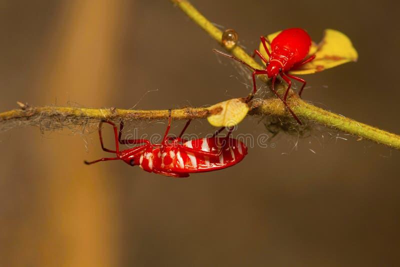 Twee jeugd rode zijde katoenen insecten, Dysdercus-koenigii royalty-vrije stock afbeeldingen