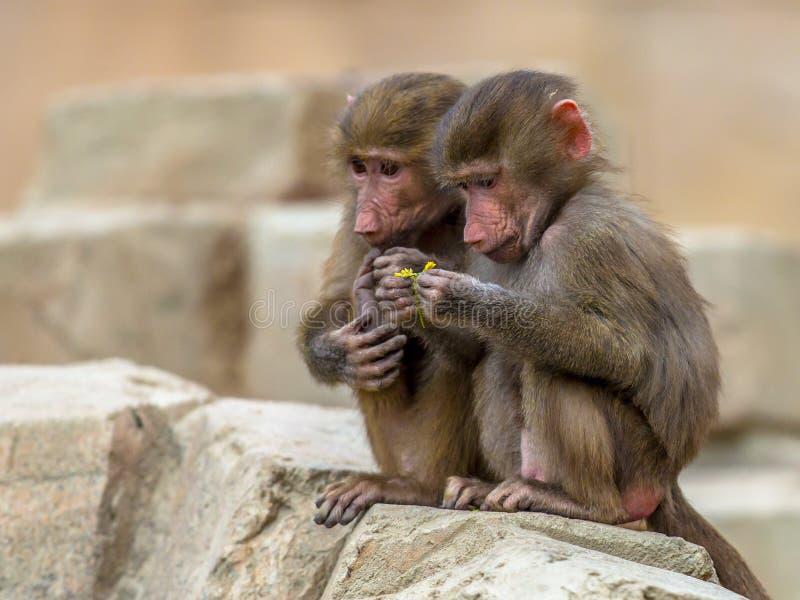 Twee jeugdhamadryas-bavianen stock afbeeldingen