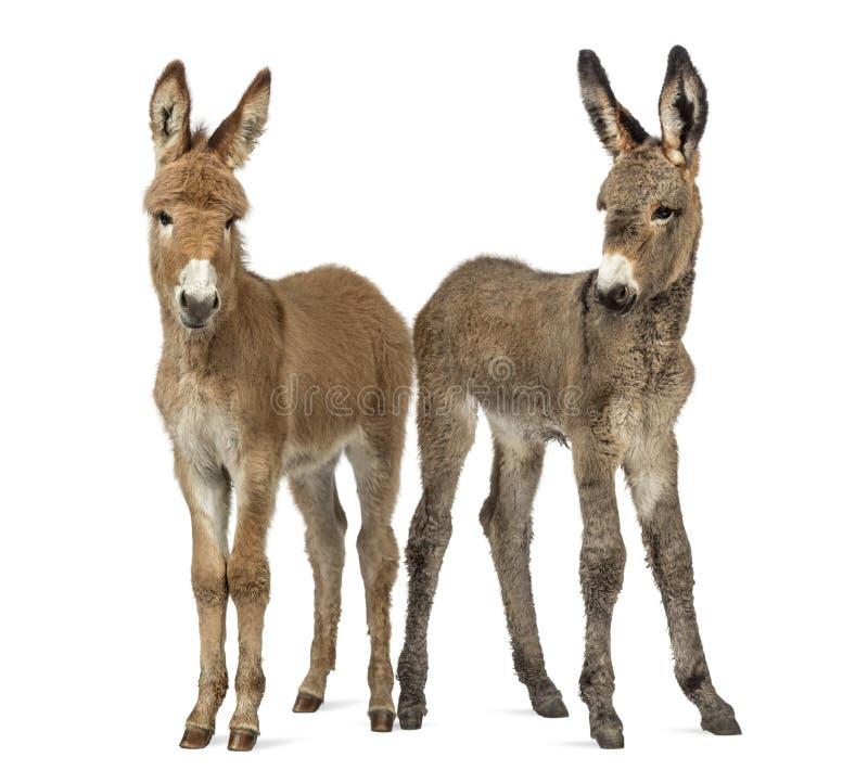 Twee jong die de Provence ezelsveulen op wit wordt geïsoleerd stock afbeelding