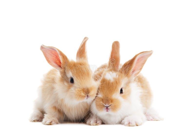 Twee jong geïsoleerd babykonijn stock afbeeldingen