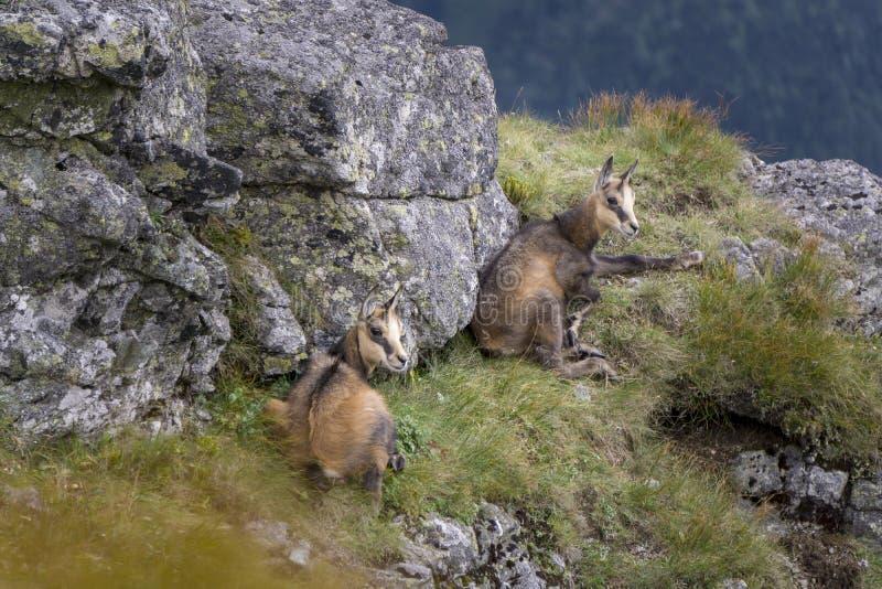 Twee jonge berggemzen in de wildernis De bergen van Tatra polen royalty-vrije stock afbeelding