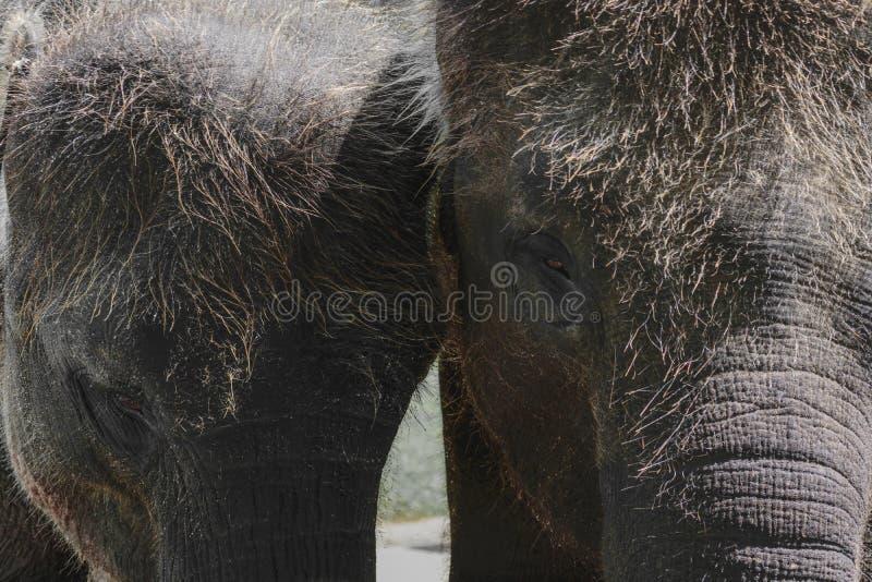 Twee jonge en harige Sumatra-olifanten die zich naast elkaar bevinden stock foto's