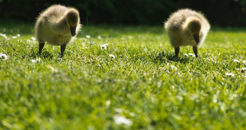 Twee jonge ganzen met pluizige veren waggelen over het groene die gras, velddiepte tot het middendeel van het beeld wordt beperkt stock foto's