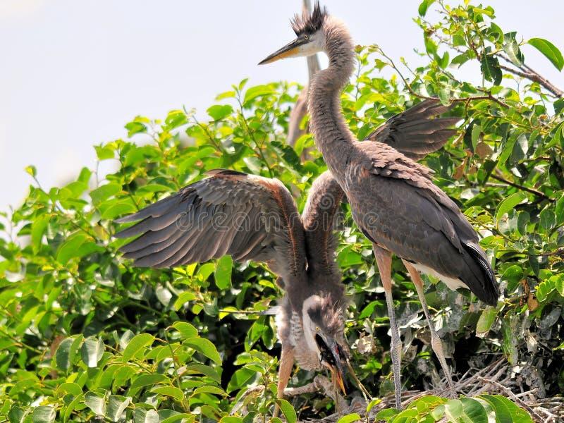 Twee jonge grote blauwe reigers, en weinig vogel royalty-vrije stock foto