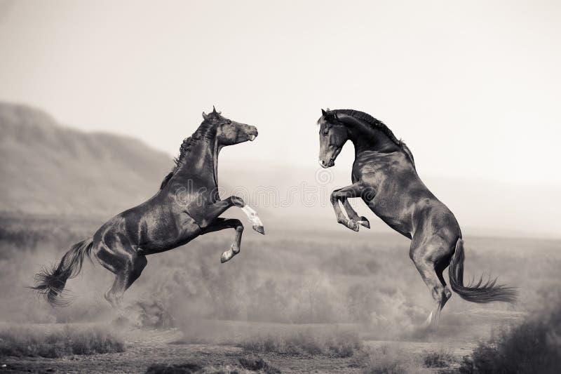 Twee jonge hengsten die in woestijn vechten stock foto's