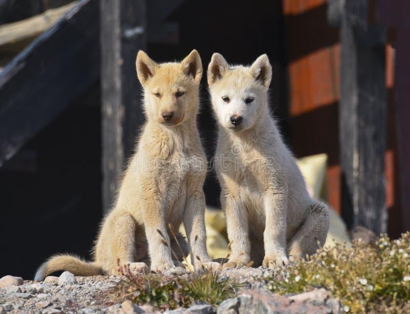 Twee jonge honden van Groenland voor een huis stock fotografie