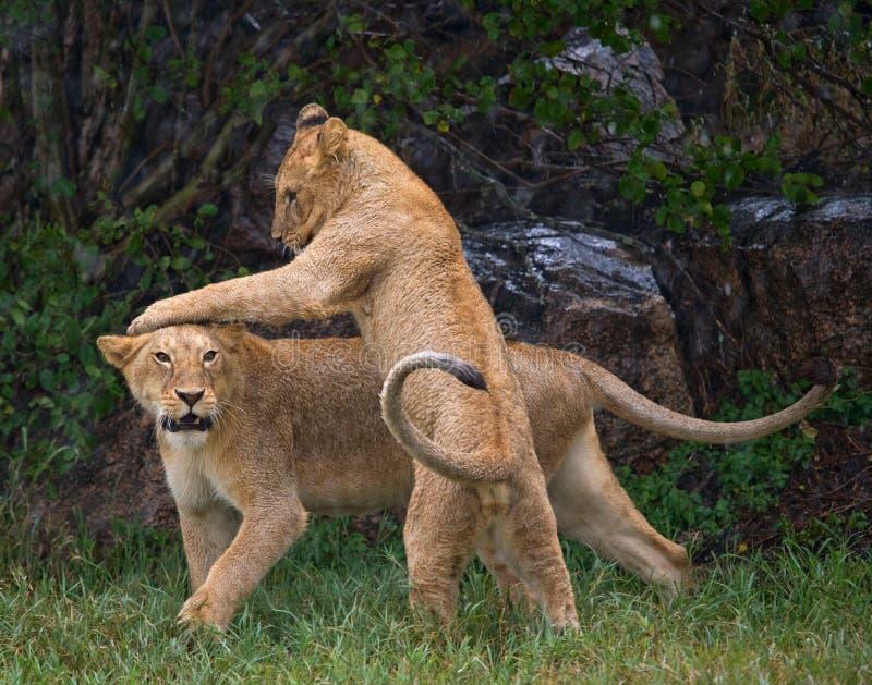 Twee jonge leeuwen die met elkaar spelen Nationaal Park kenia tanzania Maasai Mara serengeti royalty-vrije stock afbeeldingen