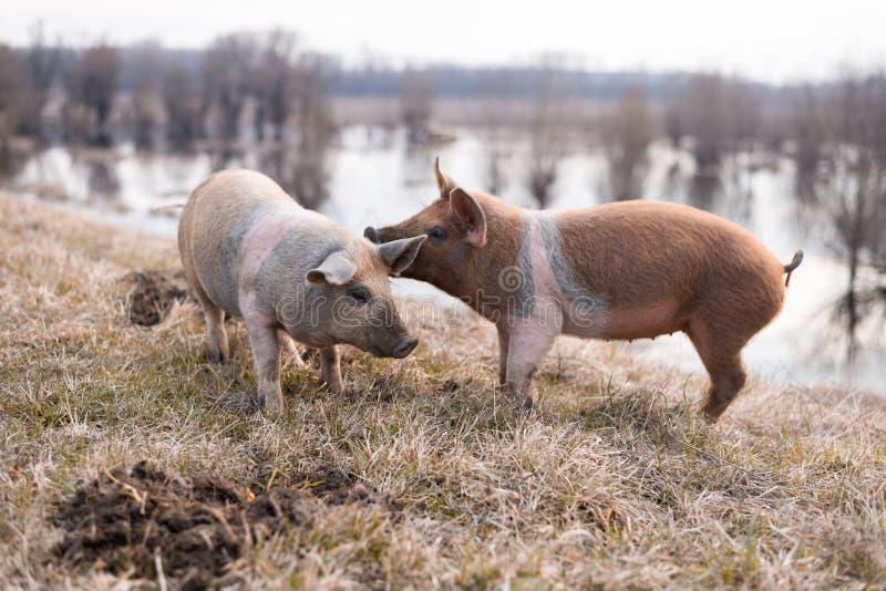Twee jonge mangulitsavarkens die pret hebben stock foto's
