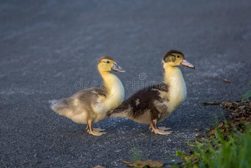 Twee jonge muscovy eendkuikens die de asfaltstraat kruisen royalty-vrije stock afbeeldingen