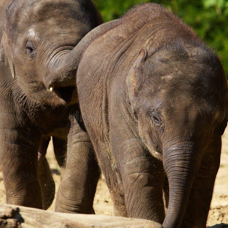 Twee jonge Olifanten stock fotografie