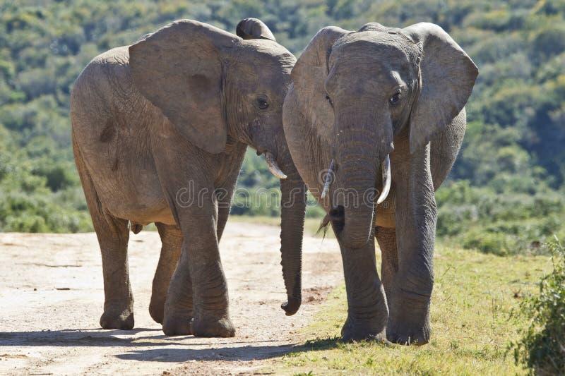 Twee jonge olifanten die langs een grintweg lopen stock foto's