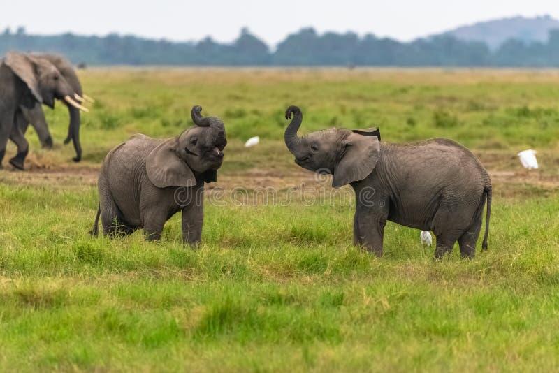 Twee jonge olifanten stock foto