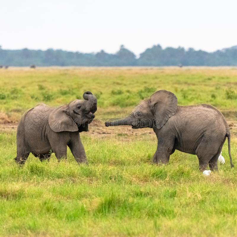 Twee jonge olifanten die samen spelen royalty-vrije stock foto's