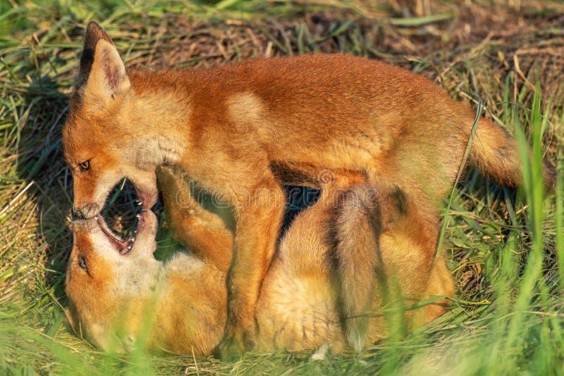 Twee jonge rode vossen die in gras spelen royalty-vrije stock afbeeldingen