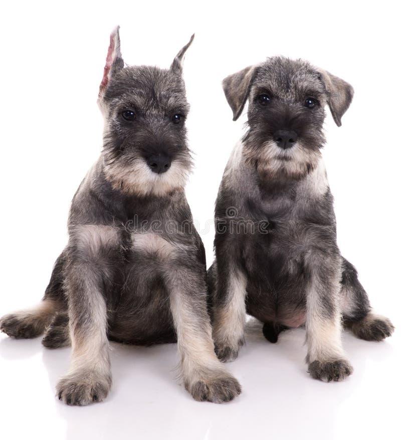Twee jonge schnauzers royalty-vrije stock afbeelding