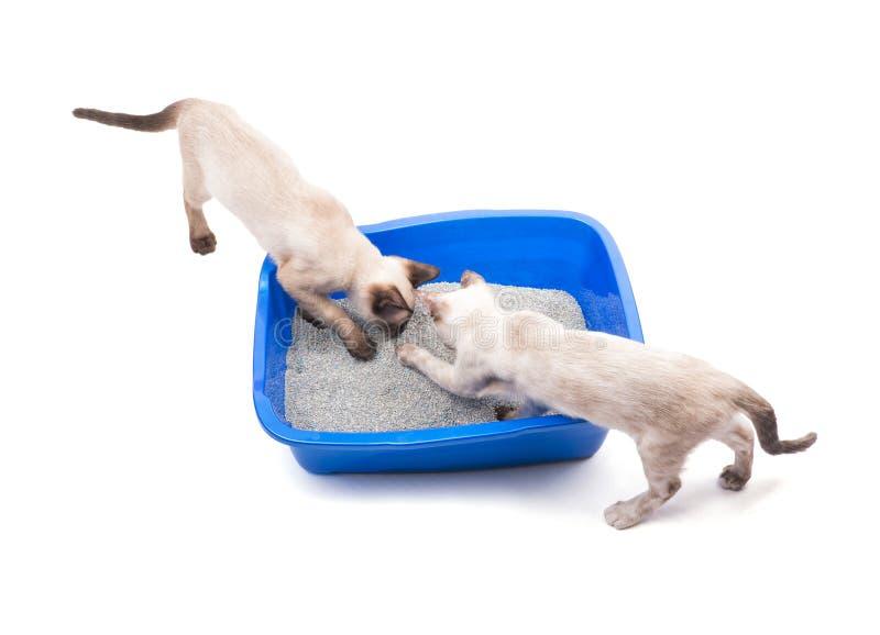 Twee jonge Siamese katten die een kattebak snuiven stock foto's