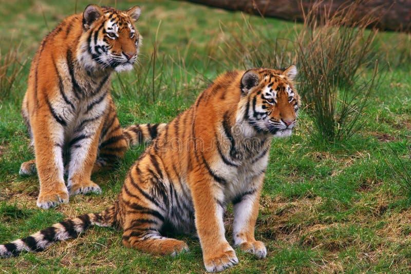 Twee jonge Siberische tijgers royalty-vrije stock fotografie