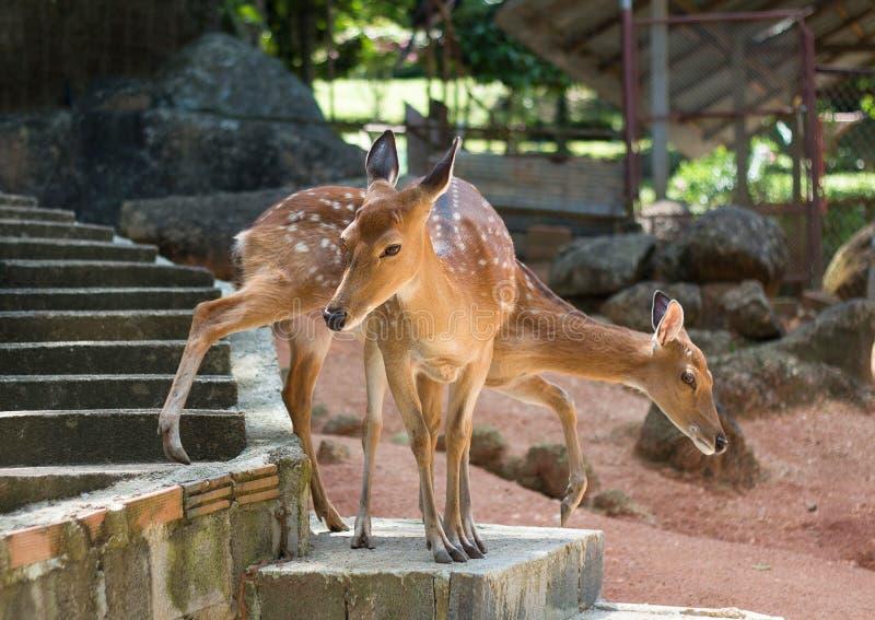 Twee jonge spotty kuiten in het park in Thailand royalty-vrije stock afbeeldingen