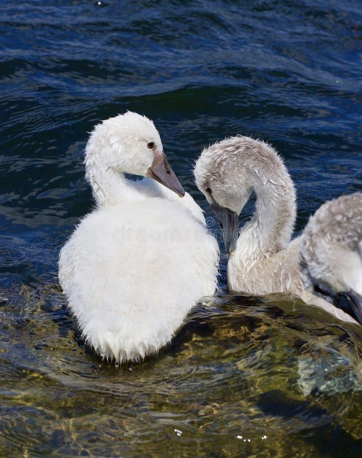 Twee jonge stodde zwanenminnaars stock foto's