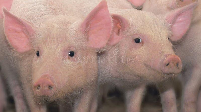 Twee jonge varkens royalty-vrije stock afbeeldingen