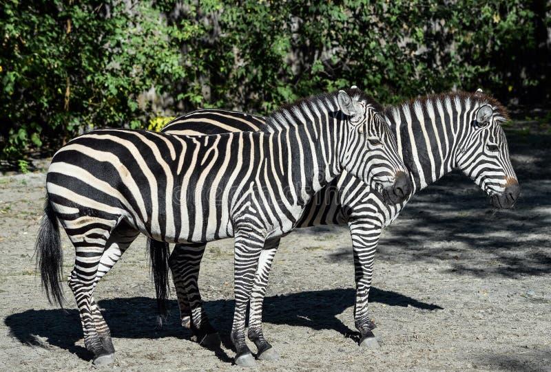 Twee jonge zebras volledige lengte in de dierentuin Safari Animals Dichte omhooggaand van het Zebrasportret royalty-vrije stock afbeelding