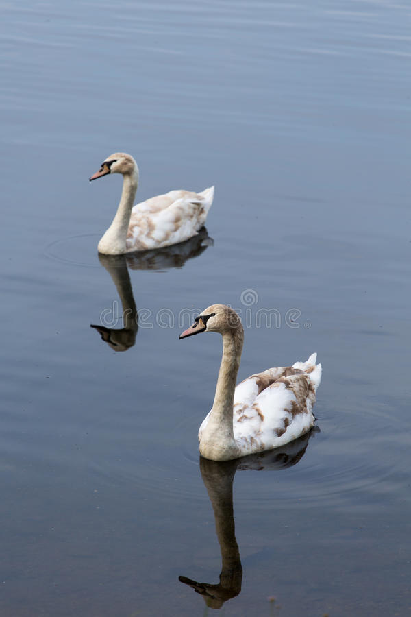 Twee jonge zwanen die samen svimming stock foto