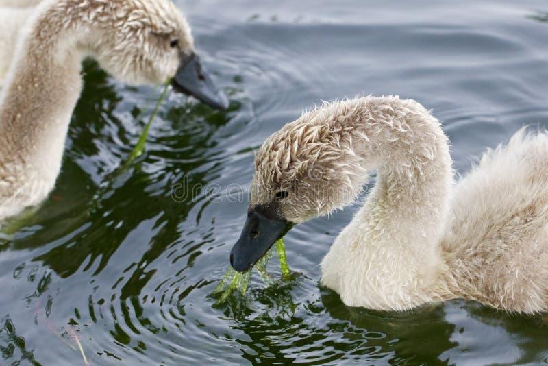 Twee jonge zwanen eet royalty-vrije stock afbeeldingen