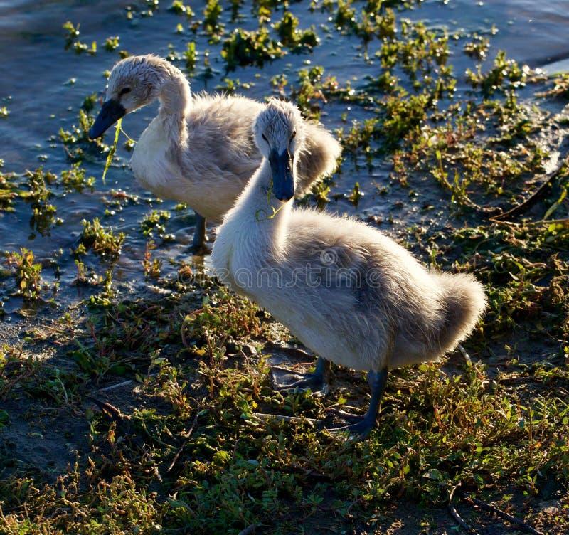 Twee jonge zwanen op de kust stock foto