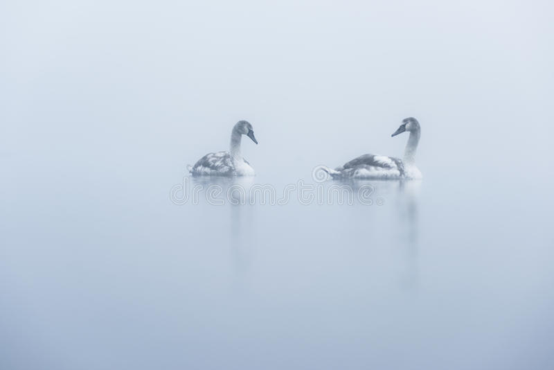 Twee Jonge zwanen van Misty Lake stock foto's