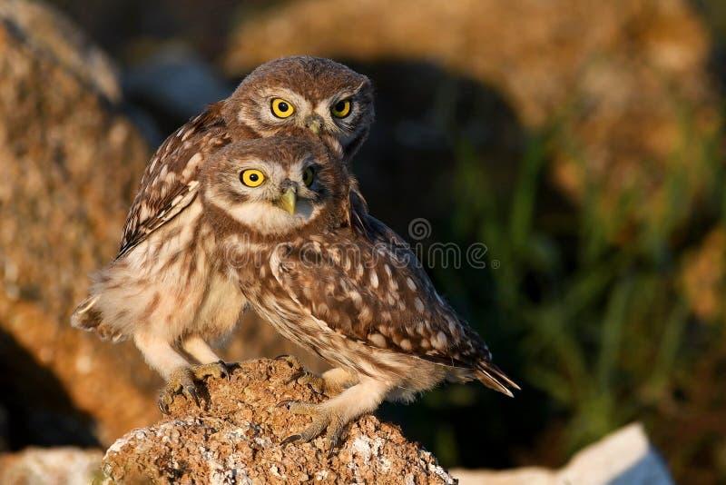 Twee jongelui Weinig uil, Athene-noctua, die op het natuursteen spelen stock fotografie