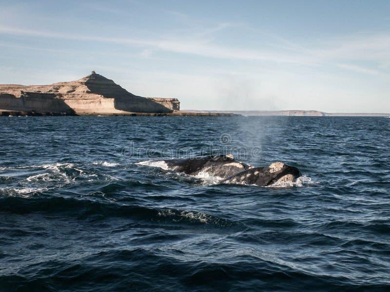 Twee Juiste Walvissen Puerto Madryn royalty-vrije stock fotografie