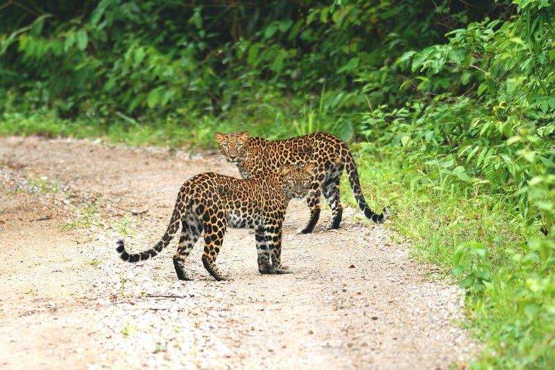 Twee juveniele luipaarden Panthera pardus, mooie camouflage, wilde katten die samen sterk staan op de grindweg in Keang royalty-vrije stock foto
