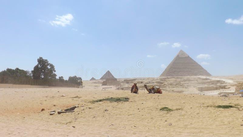 Twee kamelen bij de piramides stock fotografie